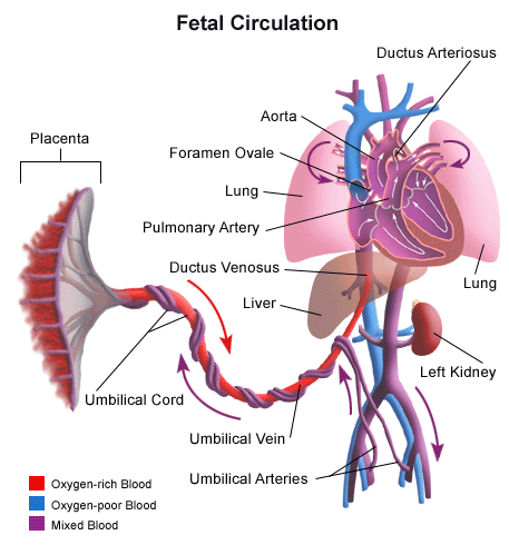 fetal-ciculation